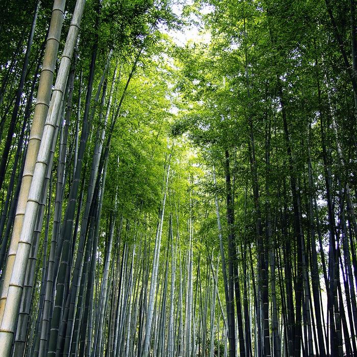 Bosque de bamboo en Arashimaya, Kyoto