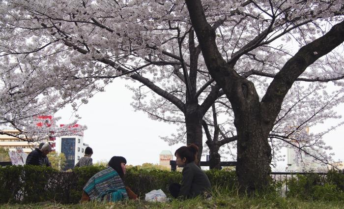 Disfrutando de los cerezos en Sakuranomiya