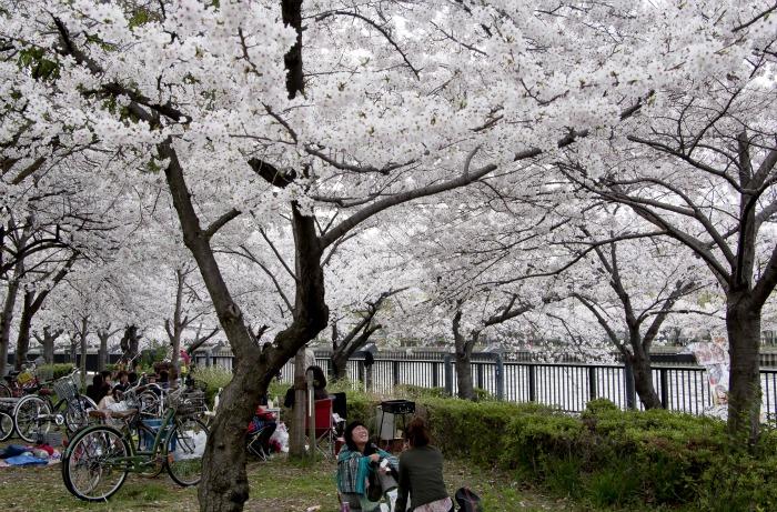 En Sakuranomiya hay cerezos a ambos lados del cauce del río.