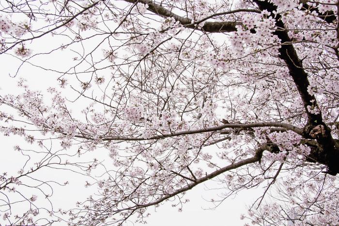 Si no te emocionan los cerezos en flor estás vacío/a por dentro