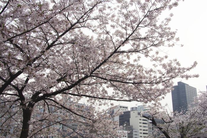 Cerezos y edificios altos: 100% Japón